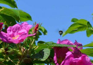 Bee in Flight at Moss Wood Caravan Park