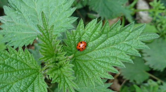 Ladybird on nettles at Moss Wood Caravan Park