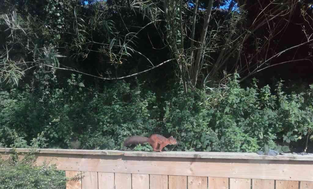 Red Squirrel Cockerham
