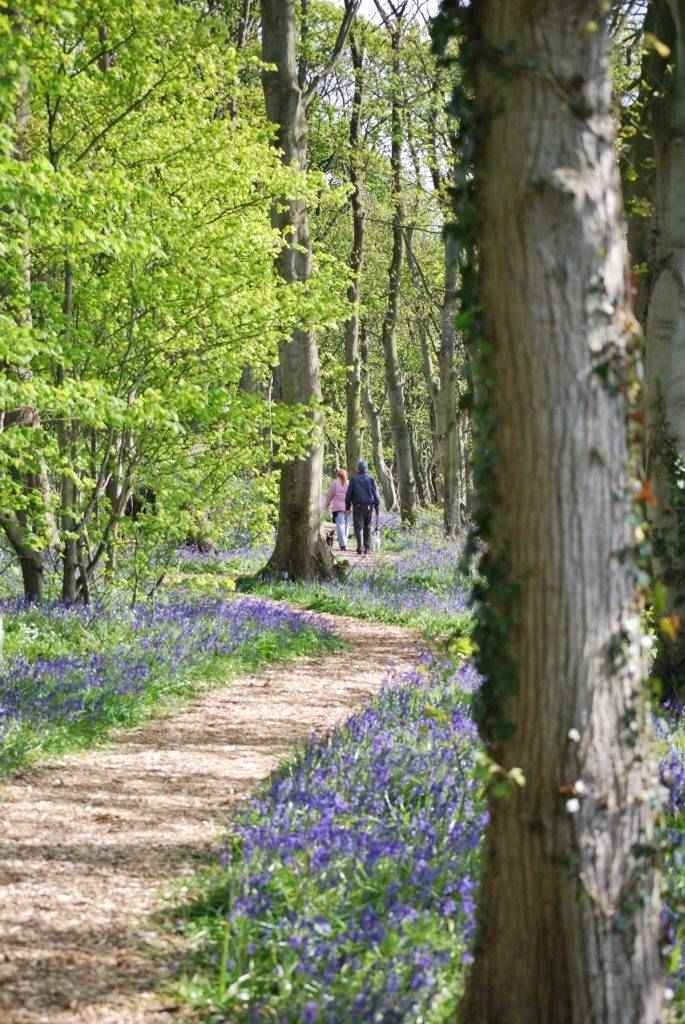 Woodland Walk bluebells