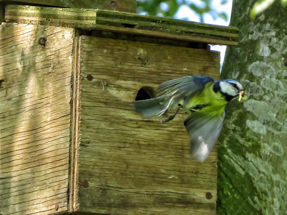 Blue Tit at Moss Wood Caravan Park in Lancashire