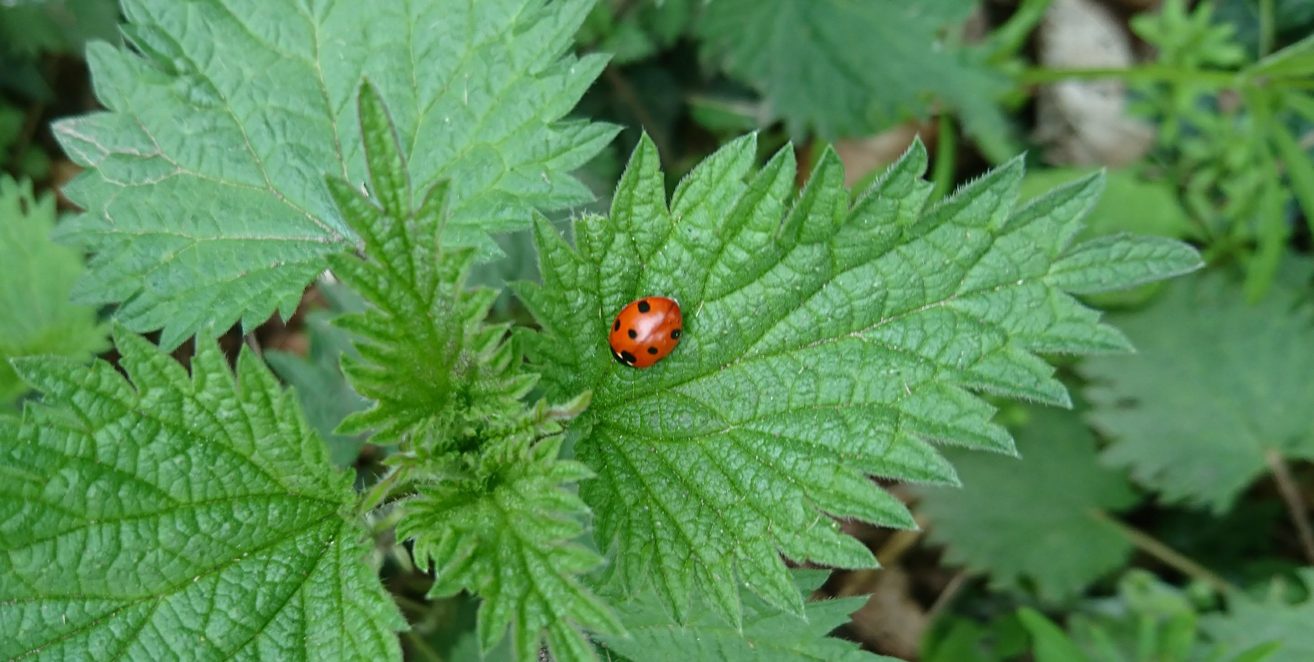Ladybird on nettles at Moss Wood Caravan Park