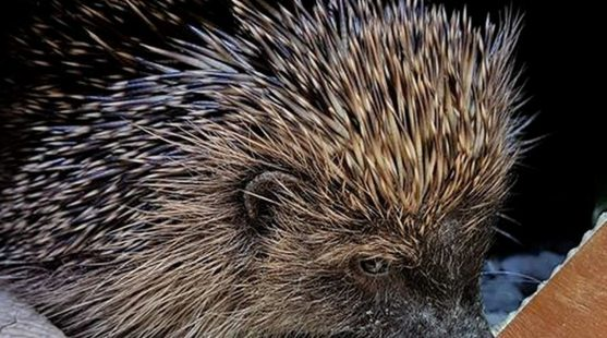Moss Wood Hedgehog