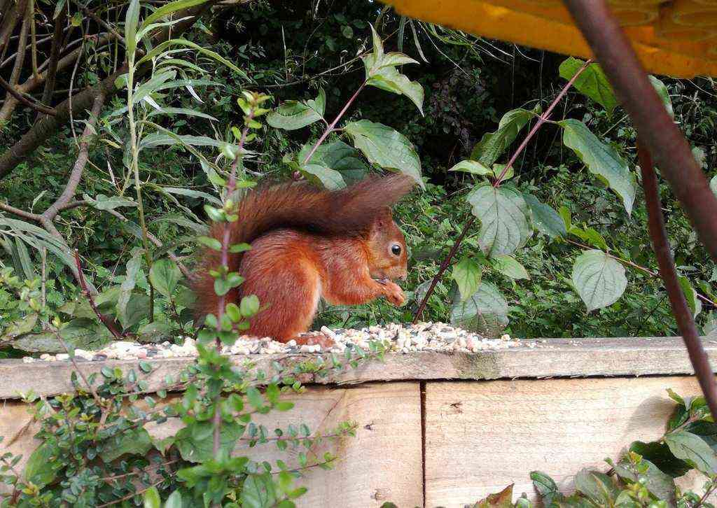 Red Squirrel Lancashire