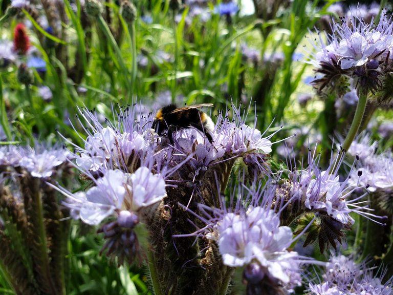Wildflower Bee June 2019
