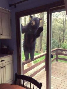 Bear peering in patio window